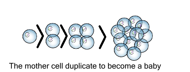 duplicate mother cell